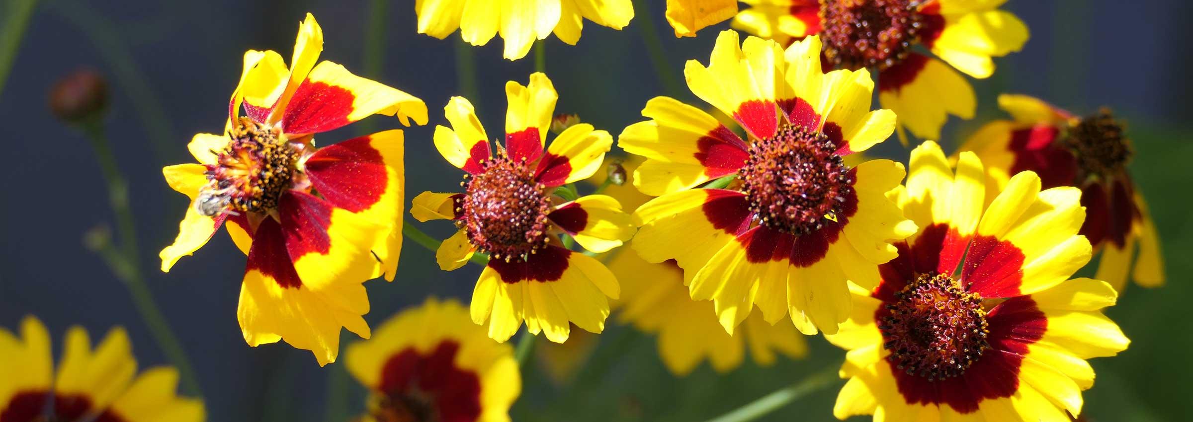 gelb-rote Blüten